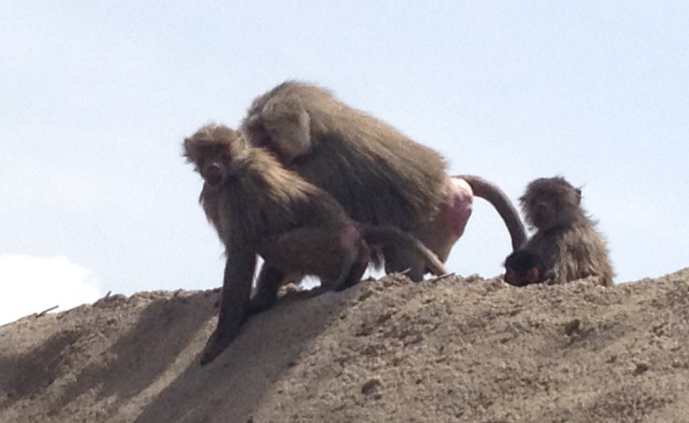 Estos monos salvajes esperan en el arcén de la carretera a que alguien les tire comida desde el coche.